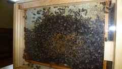 pszczoły (1).jpeg